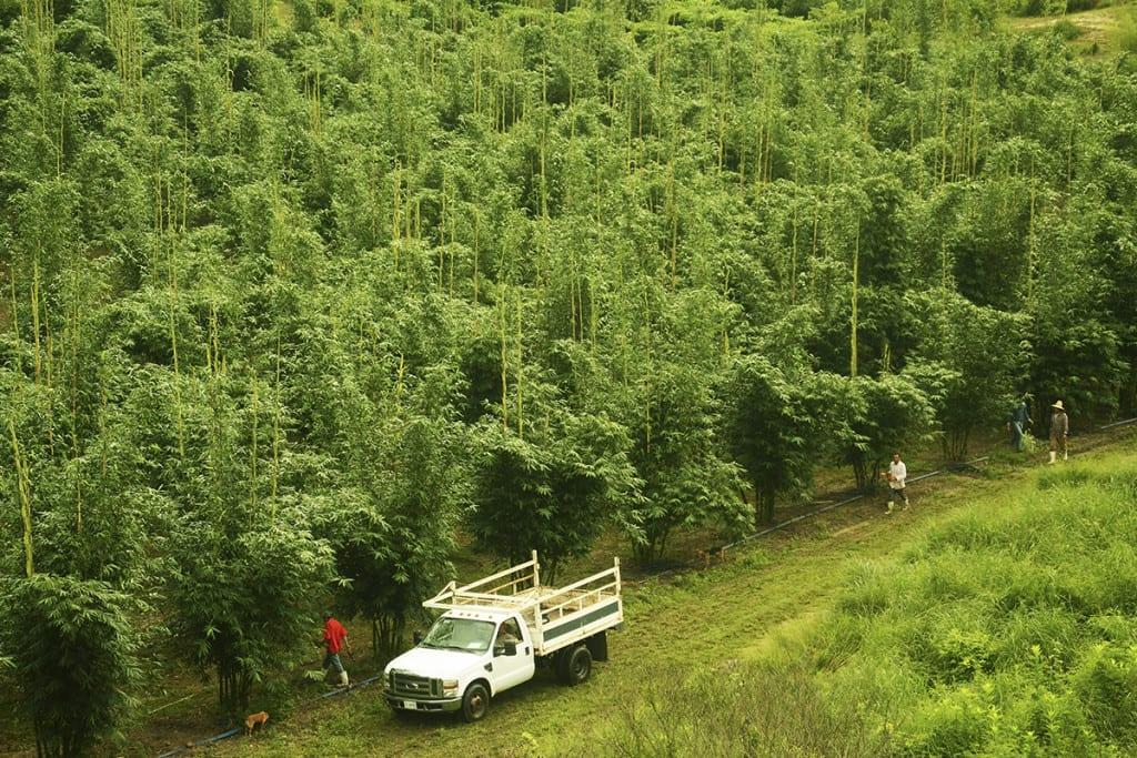 Bamburain plantacja