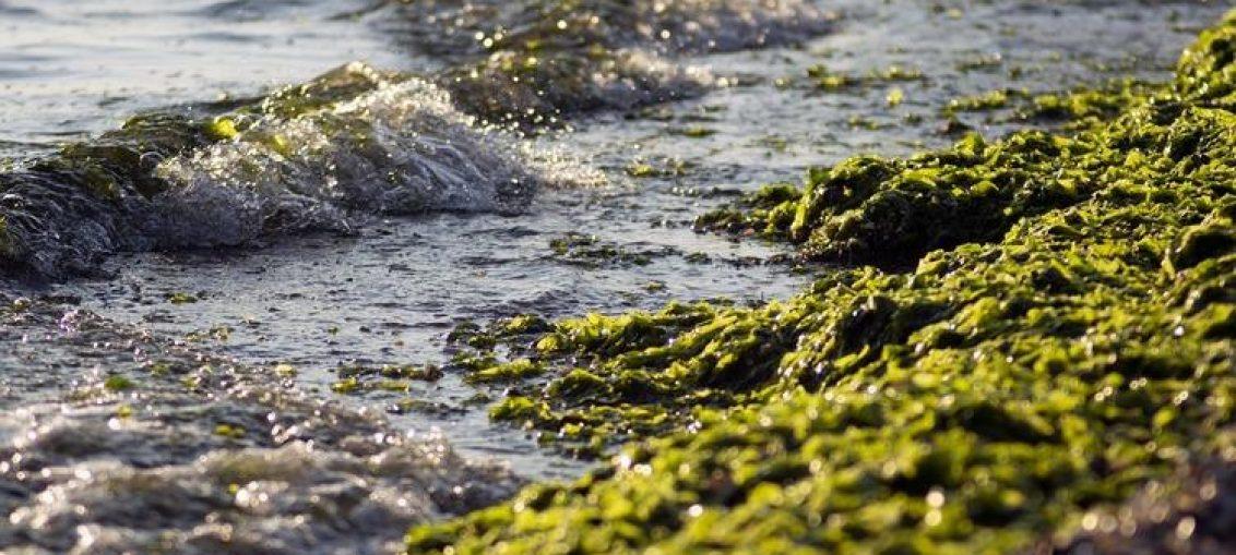algi morskie - folia spożywcza
